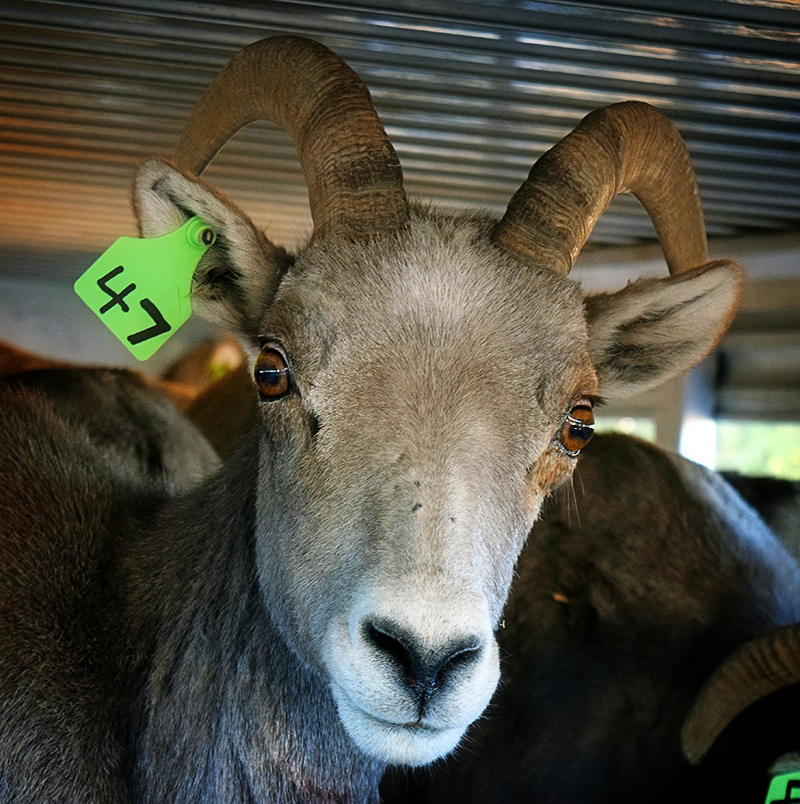 Forever Project Funds Bighorn Sheep Operation